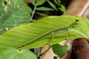 Kleine Reptilien in Santa Lucia Reservat