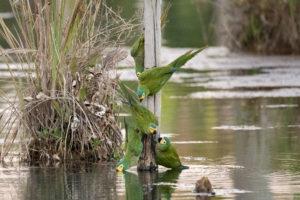 Aras an der Tränke im Pantanal