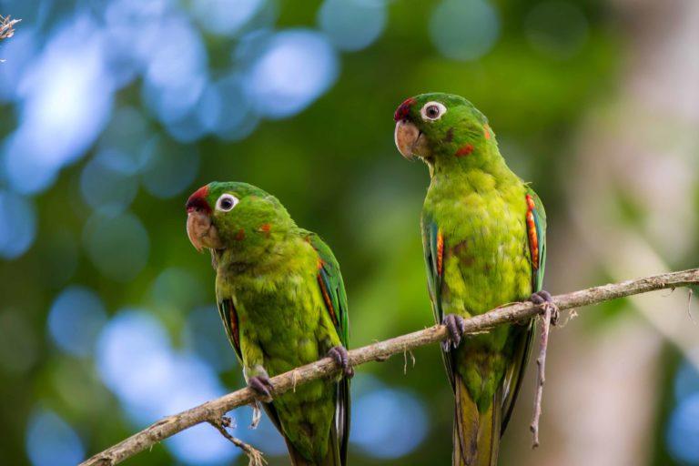 Man kann Purpursittiche in Costa Rica beobachten