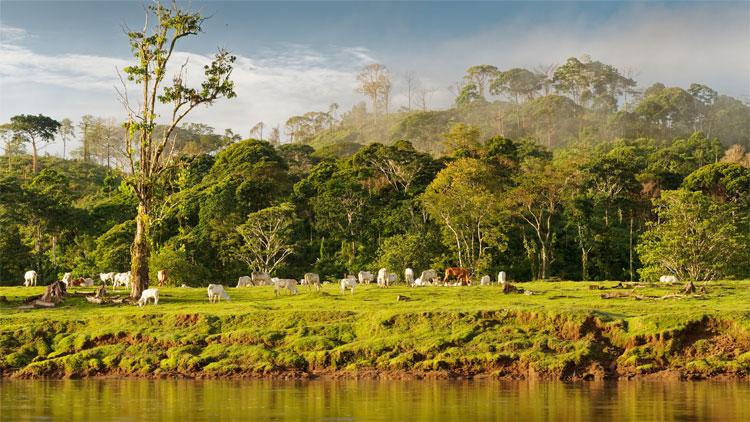 Boca Tapada: Blick über einen Fluss. Kühe grasen auf einer Wiese. Im Hintergrund Nebelwald.