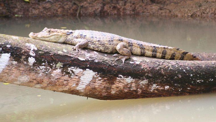 Brillenkaiman im Caño Negro Schutzgebiet
