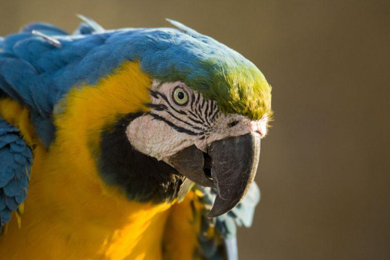 Papagei Brasilien