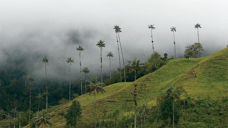 Die Quindio-Wachspalme, eine der höchsten Palmen der Welt, wächst inmitten der Kaffeezone in der Nähe des Dorfes Salento