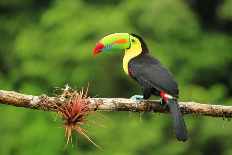 Ein Tukan - eins der Highlights auf einer Costa Rica Reise und Rundreise
